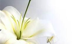 百合花的秘密