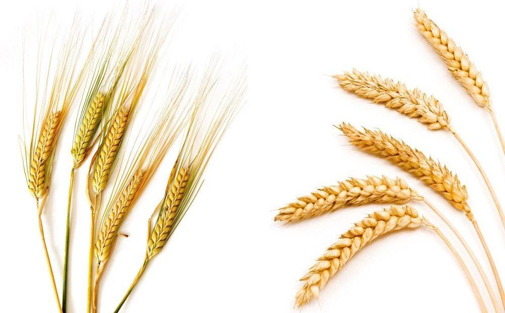 【读圣经学英语】麦子收在仓里
